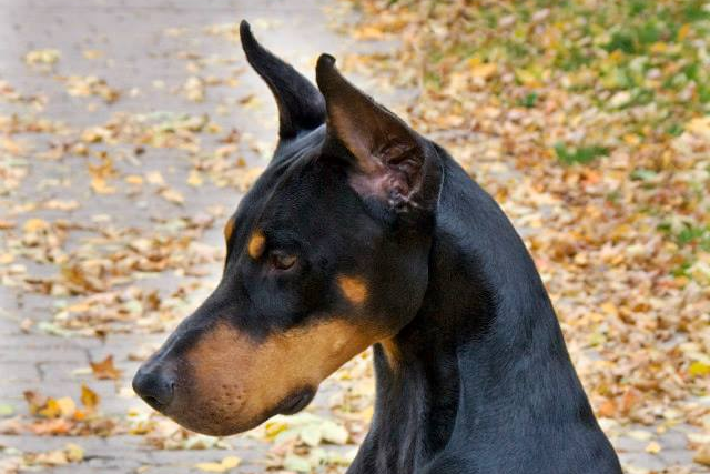 Doberman Patton's Head